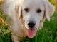 Саркоптоз у собак