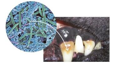 Зуб собаки с зубным камнем под микроскопом