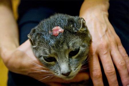 Абсцесс у кошки на голове