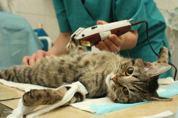 Кошка спокойно воспринимает подготовку к тест-анализу крови