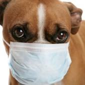 Собака, больная бордетеллезом, должна быть на время изолирована от других животных