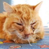 гемотрофический микоплазмоз у кошек