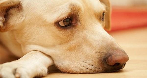Инвагинация кишечника у собаки