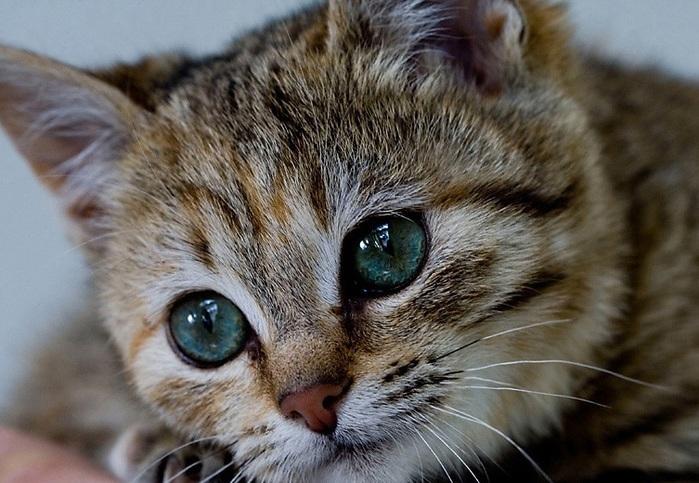 Кальцивироз у котенка