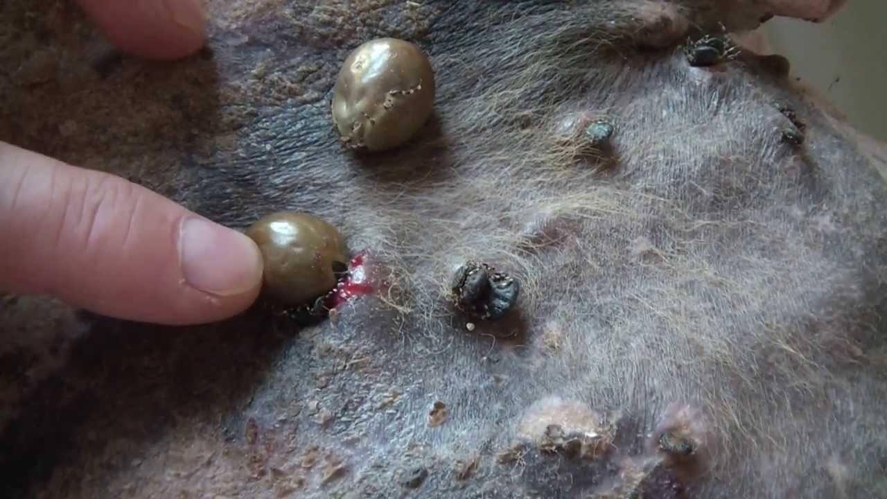 Так выглядят укусы собаки клещами