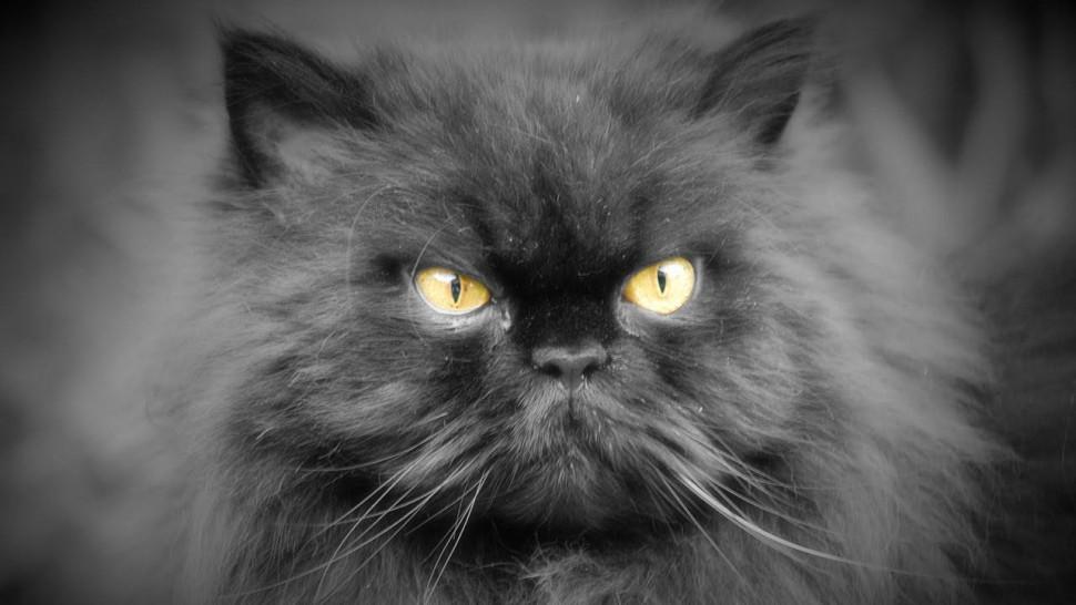 Персидская порода кошки на фото