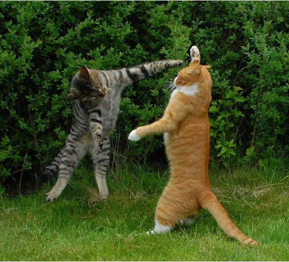 Кот дерется с другим котом