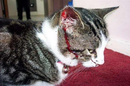 У кота гноиться рана чем лечить