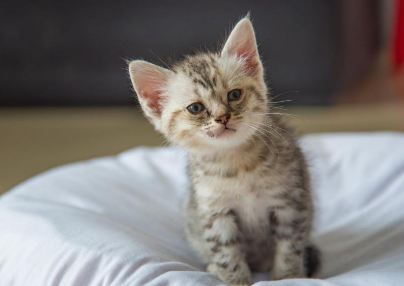 Котенок с гемаглобинурией