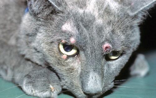Кошка, больная криптококкозом