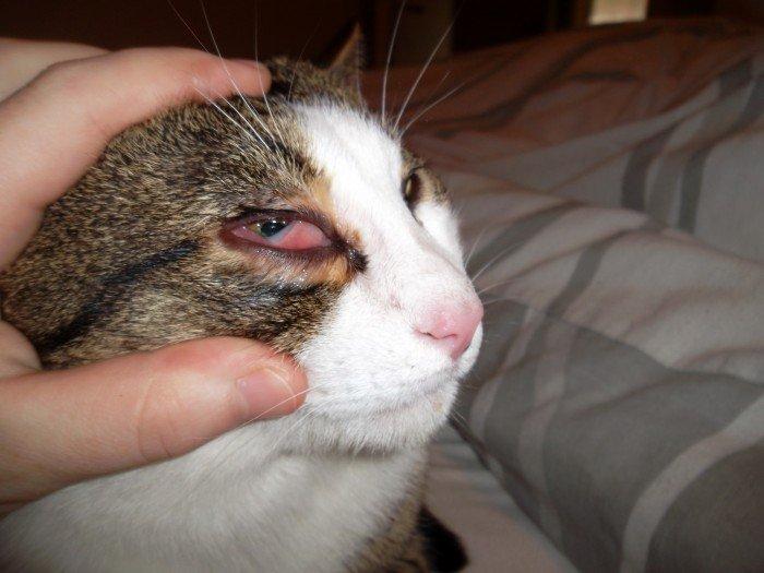 Кровь в глазу у кошки