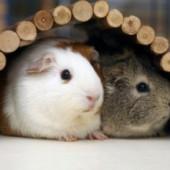 Как ухаживать за морскими свинками в домашних условиях