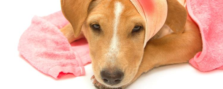 Раненая собака получила раны