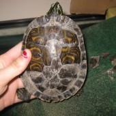 Начало некротического процесса у черепахи