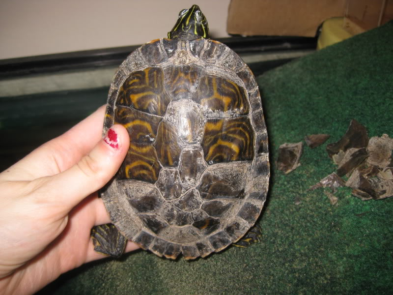 Почему у красноухих черепах шелушится панцирь