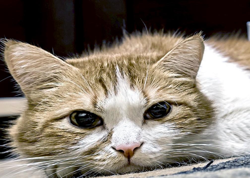 Первый симптом панкреатита у кошки - кошка часто прикладывается поспать, полежать