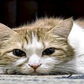 prev_pancreatitis-cats483673863