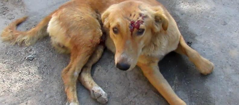 рваные раны на голове у собаки