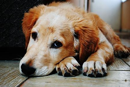 собака заболела хламидиозом-3