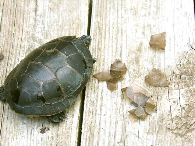 У черепахи отслаивается панцирь