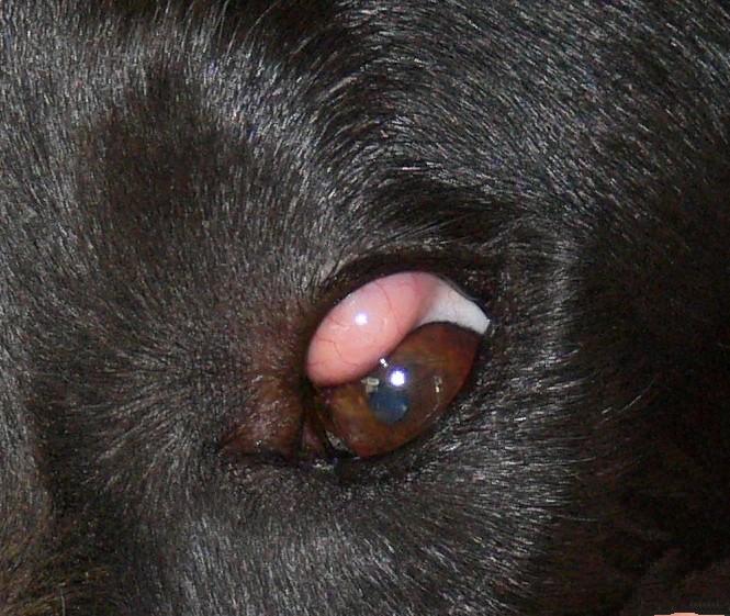 у собаки болезнь глаз