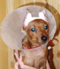 ушки у собаки после операции