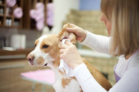 Лечение ушных клещей у собак